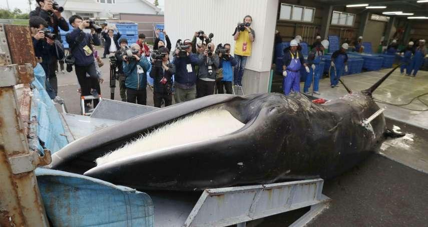 日本重啟商業捕鯨》暌違31年首次返航,捕獲2隻小鬚鯨 日本向國際保證未來將嚴控配額