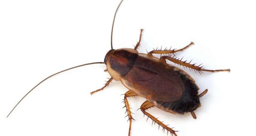 德國蟑螂抗藥性增加速度驚人 美國最新研究:小強近乎「不死之身」