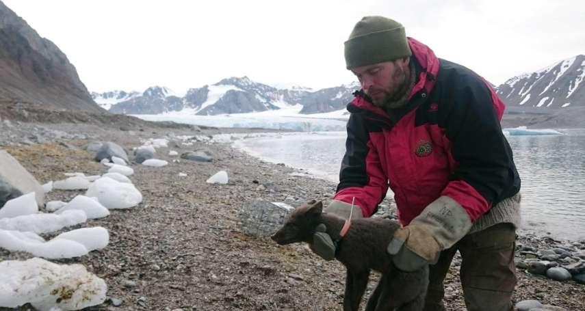 短短76天、跋涉逾3500公里…從挪威到加拿大:一頭北極狐的史詩之旅,凸顯全球暖化的嚴峻威脅