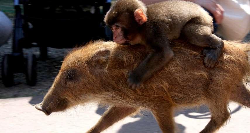 京都「野豬騎士」找到了!9年前可愛身影叫人難忘,抓回來才發現早成獼猴大叔