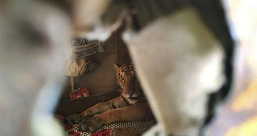 嚇死人的「不速之客」印度東北部雨季淹大水 一頭野生老虎闖入民居避難睡覺!