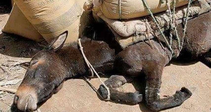 「把你的手放在馬鞍下,那裡到處是未癒合的傷口」動保人士:請不要在聖托里尼島騎驢!