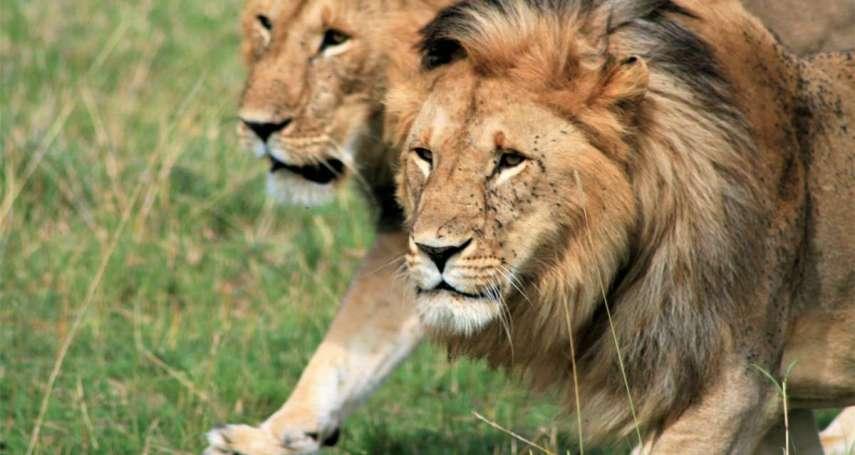 真正的萬獸之王!動物園獅群接連翹家、大街遊蕩,當地居民人心惶惶