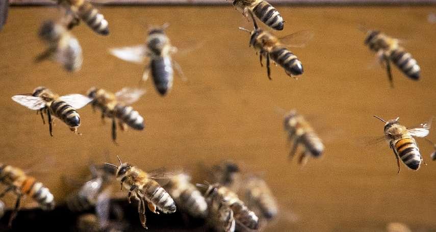「城市養蜂」推動太過頭?無家可歸的蜜蜂街頭嗡嗡嗡 柏林出現破萬蜂群
