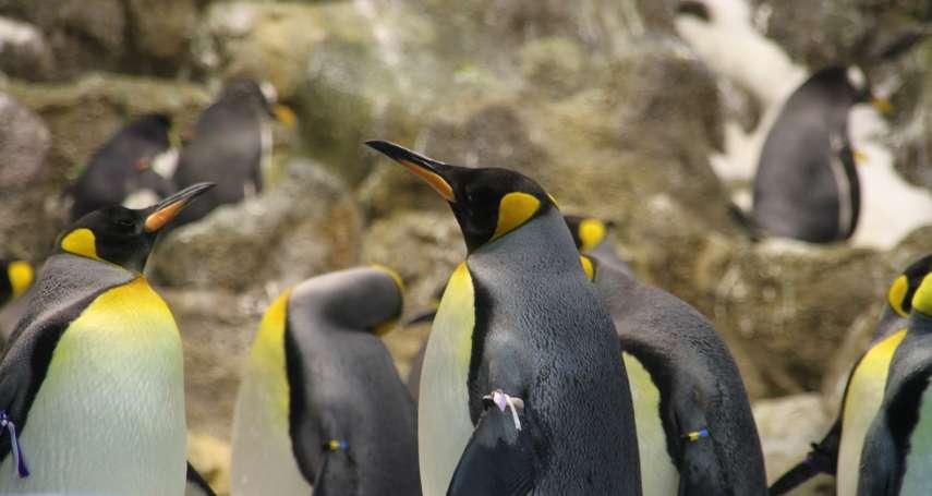 誰說同性戀不自然?柏林動物園的企鵝同性伴侶合力孵育受精卵,超過1500個物種存在同性戀