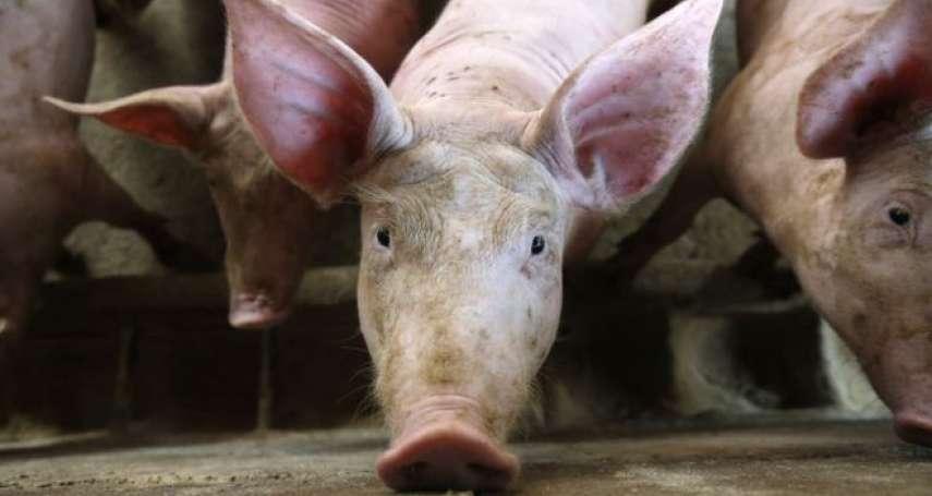 華爾街日報》非洲豬瘟沒消失過?中國稱疫情穩定,但病豬數量再次攀升