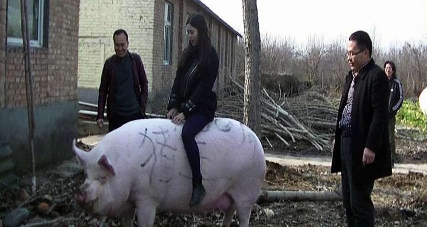 這頭豬跟北極熊一樣重!非洲豬瘟肆虐,中國豬價大漲 豬農養500公斤「神豬級」巨豬搶市