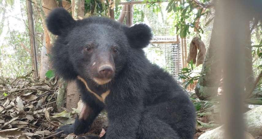 利稻黑熊健檢!不滿1歲小公熊「不怕人」,專家學者評估還不能野放