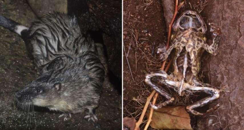 動物界開膛手?澳洲水鼠精準剖腹如「外科手術」 專吃蟾蜍「無毒心肝」