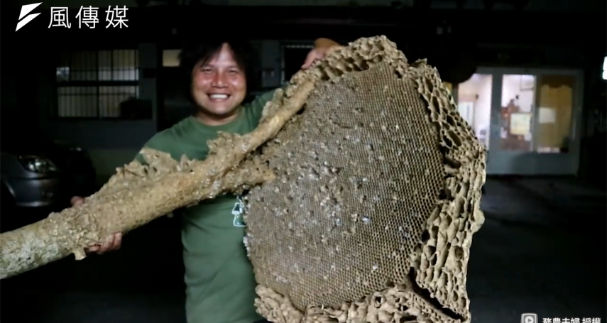 超狂農夫怒拔巨大虎頭蜂窩,毫不猶豫直接生吃,軟肥幼蟲油炸滋味像炸蝦?【影音】