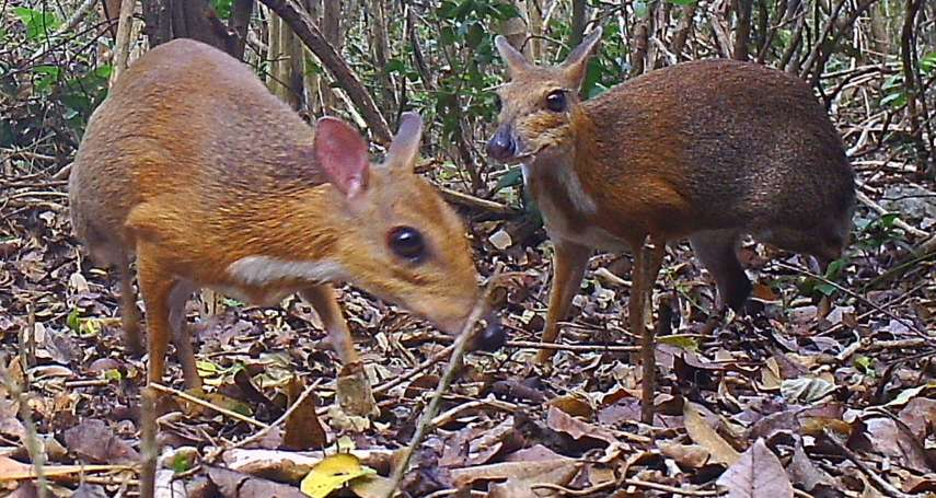 睽違近30年!超萌失落物種「銀背鼷鹿」再度現身越南雨林 世上最小有蹄類哺乳動物亟需保護