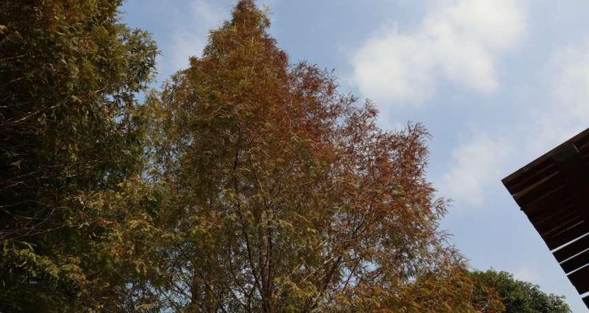 距離市區最近的林區 東勢林場逐漸進入秋冬特殊林相