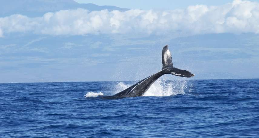 船艇的聲音會造成鯨群大規模擱淺、太吵會干擾蝙蝠的聲納…人為噪音讓許多動物身受其害