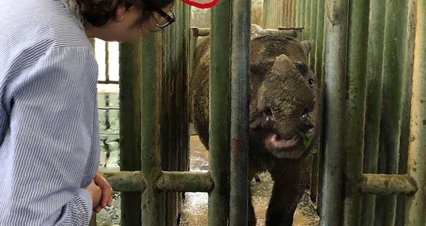 全球剩不到百隻!僅存一隻母犀癌症病逝 蘇門答臘犀牛在馬來西亞正式絕種