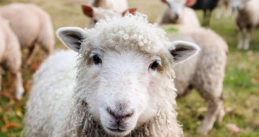 動保悲劇!貨船「辛德皇后號」羅馬尼亞外海翻覆 逾1萬4千隻綿羊活活淹死