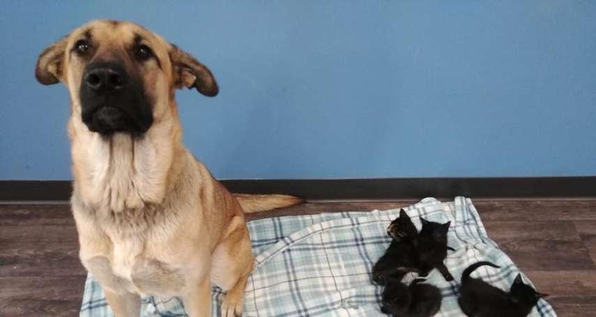 零下三度有她真好!加拿大狗姊姊不畏大雪 用體溫暖救5小貓