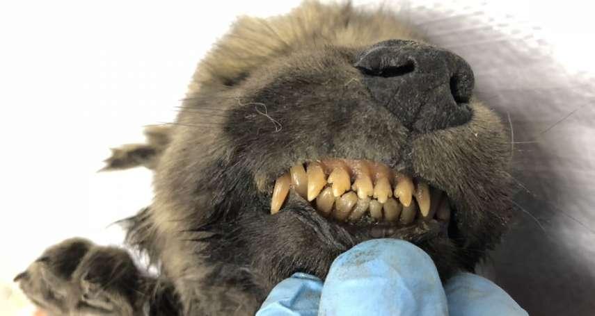 牠到底是狼還是狗?! 俄國出土1萬8000年前「幼犬」化石 讓科學界陷入苦思