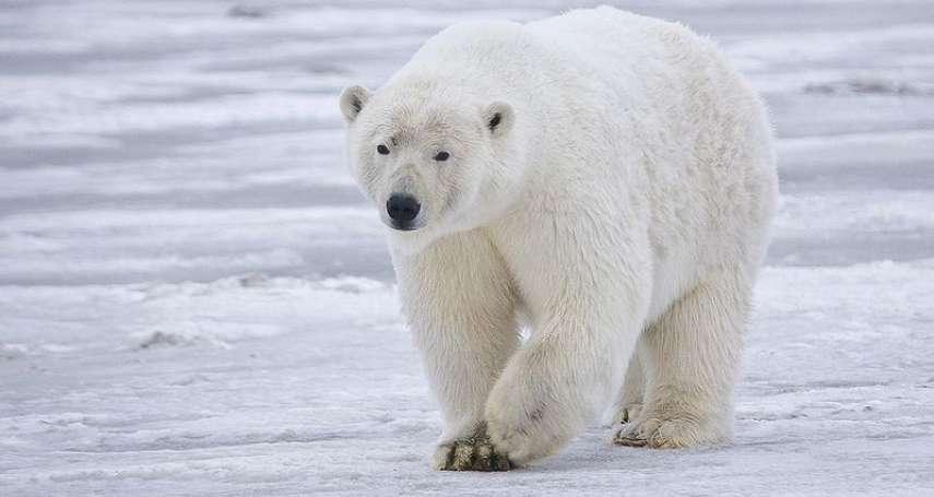 全球暖化棲地驟減》北極熊遭人畫上二戰坦克T-34記號 保育專家憂心造成生存危機