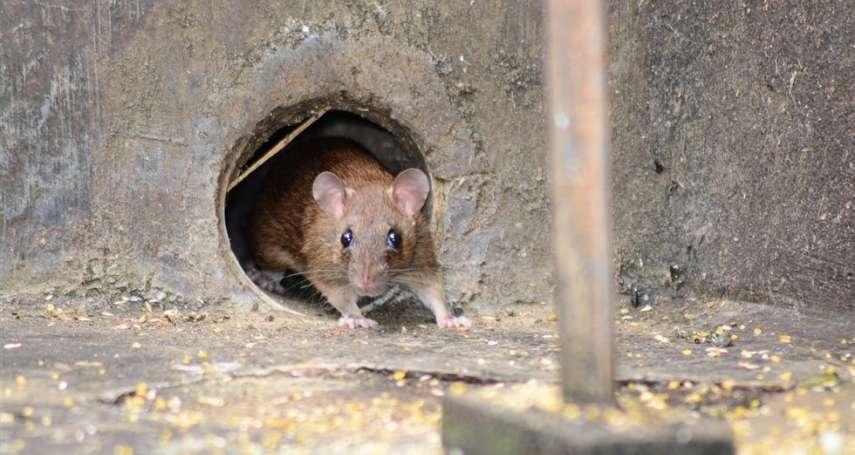 內蒙古鼠疫感染源找到了!中國首批露病例報告:患者疑似挖土石時接觸到「這個」