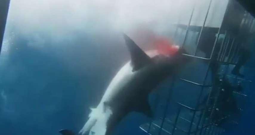 活活夾死!粗糙「鯊籠潛水」釀悲劇,大白鯊衝撞卡鐵籠掙扎25分鐘流血致死