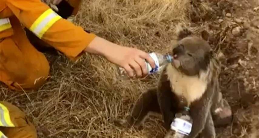 近五億動物死去、無尾熊恐將滅絕,我們能怎麼幫助澳洲肆虐野火?法國智庫:少追劇就行
