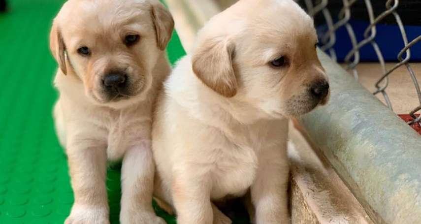 5胎超萌「緝毒犬」寶寶找寄養家庭 海關開這些條件盼更多民眾加入