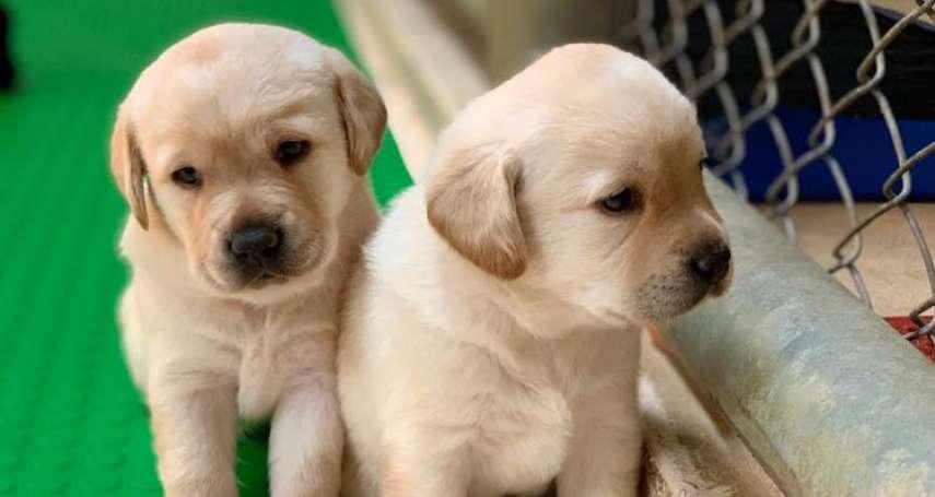 超可愛的!如果你住在中部、家有庭院,你願意照顧緝毒犬寶寶嗎?