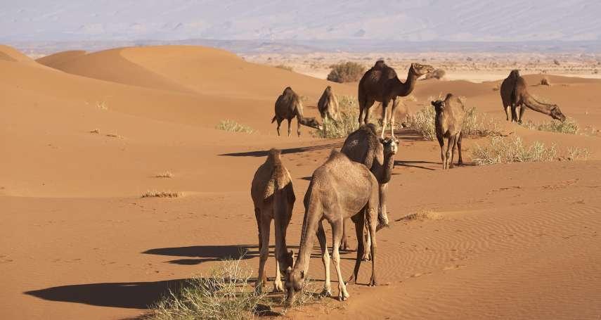 澳洲乾旱除引起大火,還引發動物福利危機!澳當局因「水源問題」,決定射殺近萬頭駱駝