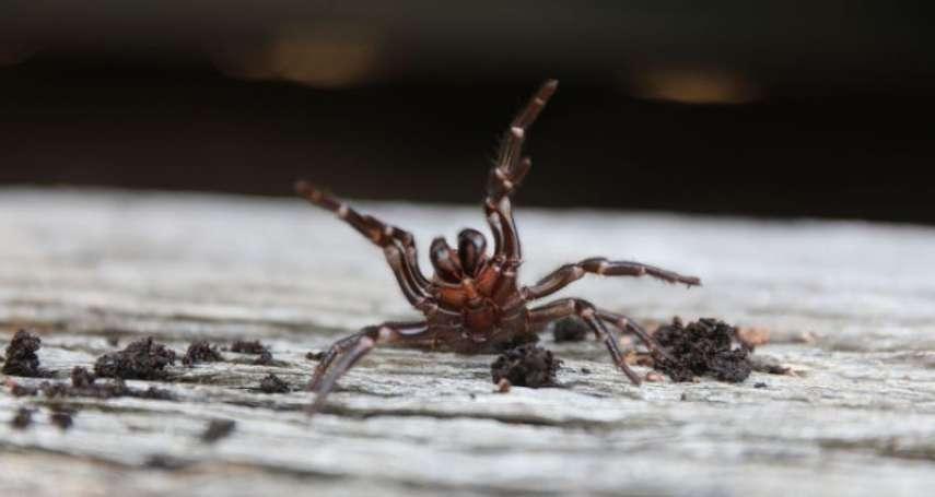 經歷野火、暴雨、冰雹 澳洲面臨新挑戰:劇毒雪梨漏斗網蜘蛛出沒