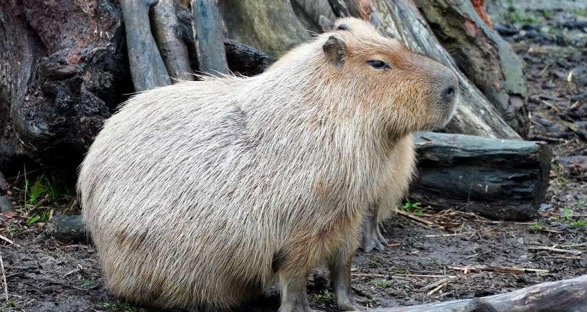 鼠鼠生豐!台北市立動物園水豚君「卡皮」帶你認識囓齒家族