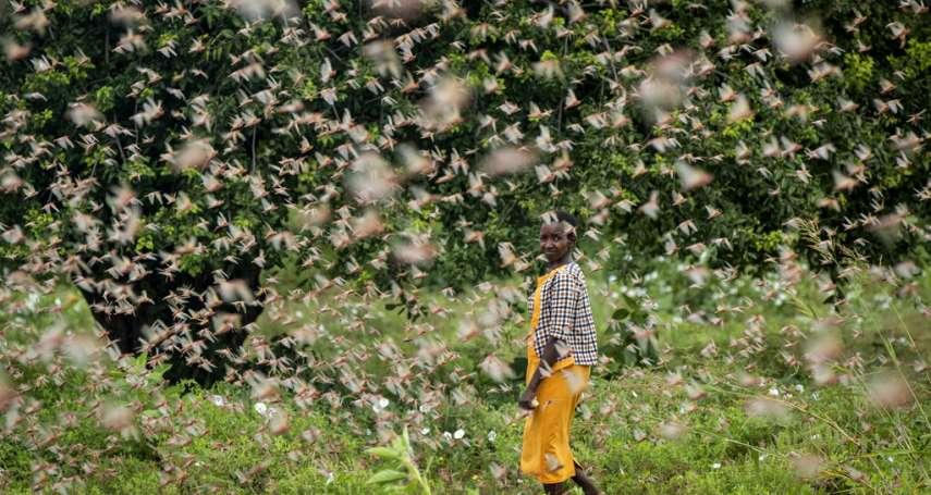 東非數億隻蝗蟲過境!不停繁殖、不斷啃噬農作物,2000萬人糧食告急