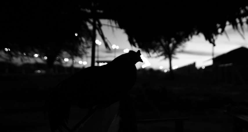 雞是天生的夜盲症患者,懼怕黑夜:《養雞時代》選摘(2)