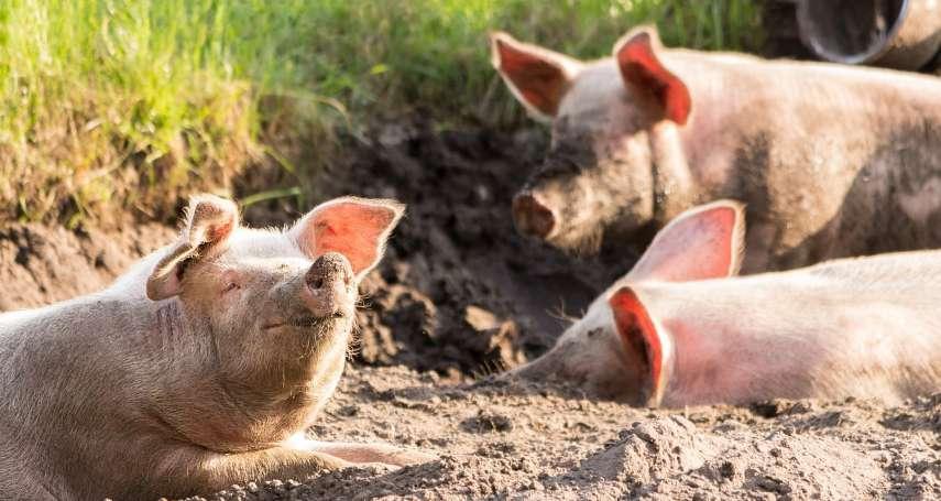台灣豬肉將再出口,動保團體痛心疾首:吃素吧!別再把牠們當食物