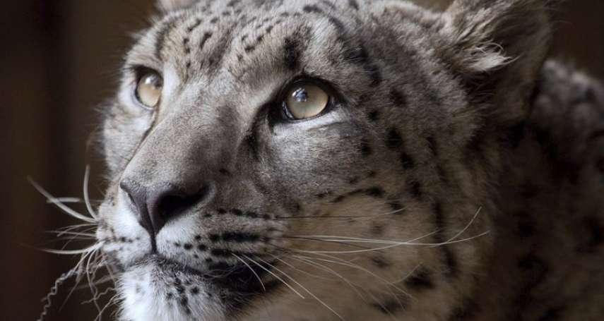 中國青海雜多縣發現至少40隻雪豹 寫下至今最大數量個體識別紀錄