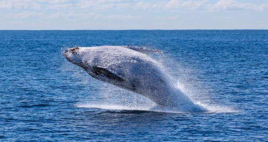 鯨魚之死》科學研究:鯨魚完整遺骸若能沉入海底,就能藉由碳封存幫地球降溫