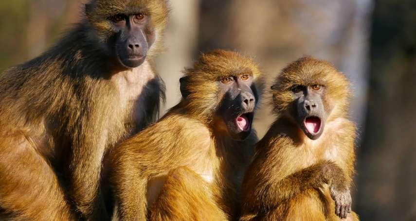 實驗動物悲歌》雪梨醫院上演狒狒大逃亡!同類命運多舛如「科學怪人」