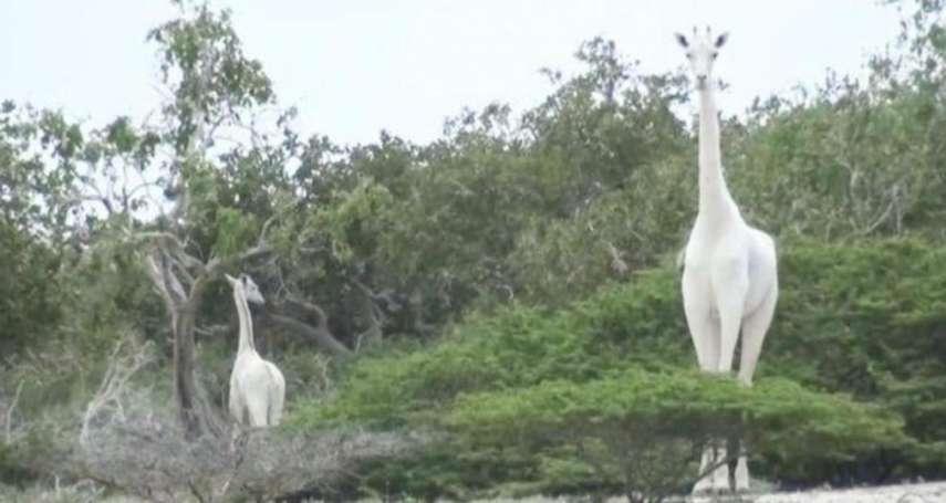 世上最美麗的身影只剩一副骷髏……肯亞唯一純白母長頸鹿遭盜獵者打死