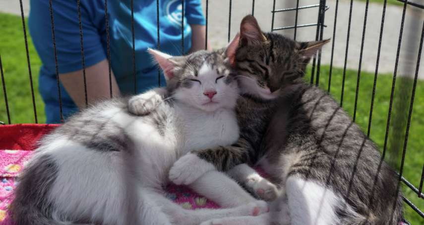當俄國病毒學家看上貓咪:貓是用於測試新冠疫苗的「理想」動物