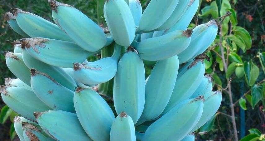 想吃藍蕉嗎?南洋「香蕉界哈根達斯」連口感也超罕見:有如夢幻香草冰淇淋