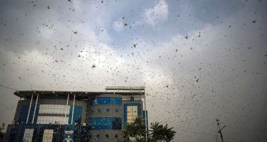 數億隻蝗蟲飢不擇食、侵襲市中心!印度面臨近30年最嚴重蝗災 首都新德里即將遭殃