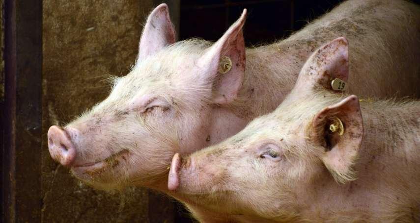 等了24年!星宇首發出口台灣豬肉550kg至澳門,預計每週銷200頭