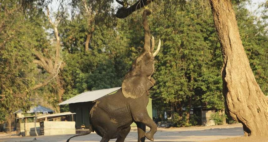 心碎!非洲生態浩劫:逾350頭大象離奇暴斃 水坑邊繞圈踱步驟然倒地......波札那當局尚未釐清死因