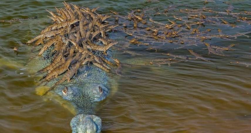 數數看,這位爸爸背上有幾隻小鱷魚?野生動物攝影大賽的三張美照:忍辱負重、風中優雅和嗜血豪飧