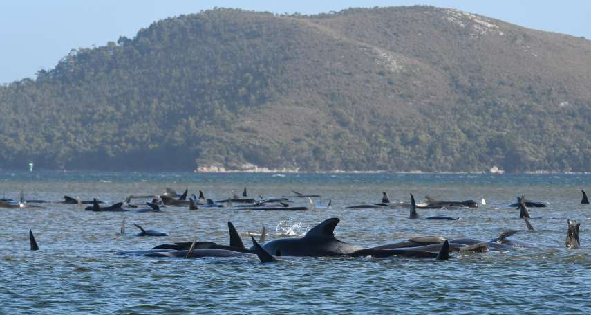 270多頭長鰭領航鯨集體擱淺!澳洲麥格理港再傳慘劇,塔斯馬尼亞島積極投入救援