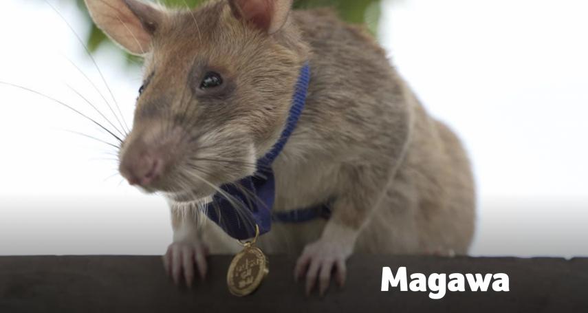 搜出39顆地雷、28顆未爆彈!非洲巨鼠在柬埔寨拯救無數性命,退休前獲頒「動物勇氣獎」