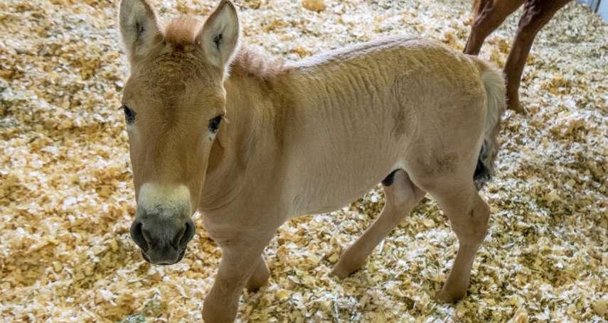 冷凍了40年的蒙古野馬細胞,是這個瀕危物種的復育希望!美國科學家成功孕育第一匹「複製蒙古野馬」