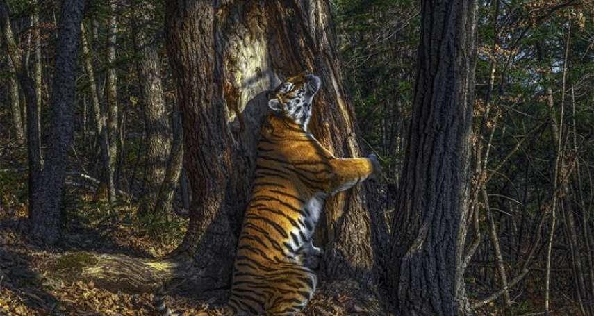 他拍下西伯利亞虎與杉木耳鬢廝磨的瞬間......俄國攝影師奪得2020野生動物攝影大獎