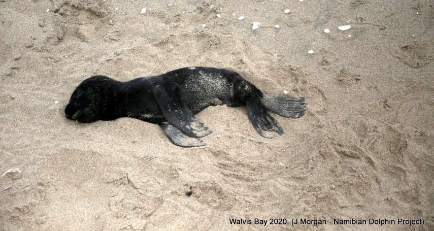 納米比亞海灘怵目驚心!遍布逾7000隻海狗寶寶屍體 幾乎都是早產餓死