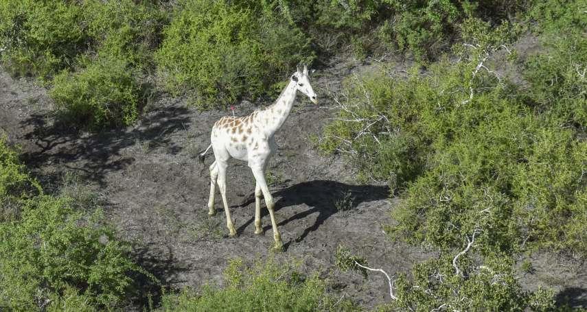 肯亞保護全球唯一倖存白色長頸鹿 加裝追蹤器避免慘遭盜獵者毒手