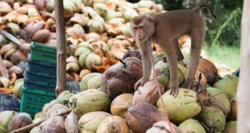 猴子也慘遭壓榨!被關在狹小籠內、每天採超過1千顆椰子,不服管束就拔牙!血汗黑幕背後竟是這知名品牌